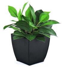 Bay Leaf in Planter