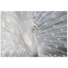 'Snow White Peacock' by Victoria Ivanova Photographic Print