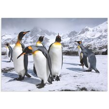 'King Penguins at the Bay' by Steph Oli Photographic Print
