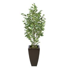 Ficus Tree in Planter