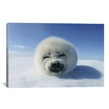 Baby Seal Photographic Print on Canvas