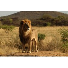 African Lion Photographic Print on Canvas