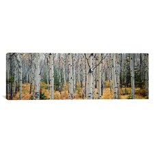 Panoramic Aspen Trees in a Forest, Alberta, Canada Photographic Print on Canvas