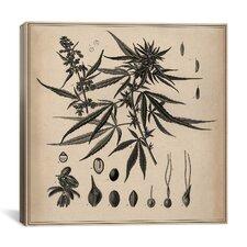 Animal Male Cannabis Sativa Scientific Drawing Graphic Art on Canvas