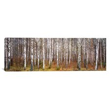 Panoramic Birch Trees in a Forest Photographic Print on Wrapped Canvas