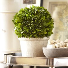 Round Preserved Boxwood Topiary