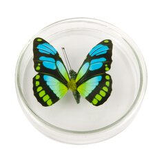 Deko-Clip Schmetterling in Petrischale