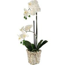 White Orchids in Crackle Ceramic Planter