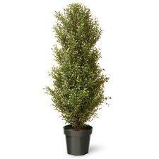 Argentea-Baum