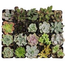 20 Piece Beautiful Succulents Plant in Pot Set