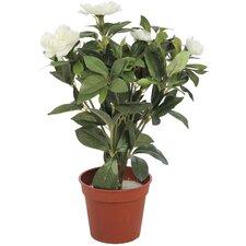 2-tlg. Azalee im Blumentopf