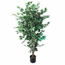 Ficus Tree in Pot