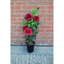 Damask Rose in Pot