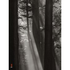 Limited Edition 'Shafts of Light, Columns of Redwood' by Tom Reed Photographic Print