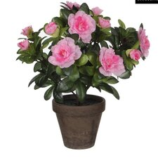 Stan Azalea in Pot (Set of 2)