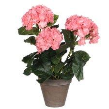 Hortensie Stan im Blumentopf