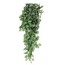 Hängepflanze Fittonie