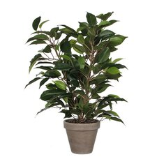 Ficus Natasja im Blumentopf