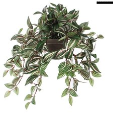 Tradescantia Hanging Plant in Pot
