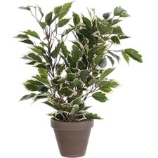 Ficus Natasja Variegated Plant in Pot