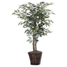 Variegated Ficus Tree in Basket