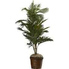 Bermudiana Palm Tree in Basket