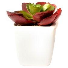 Schreibtisch-Topfpflanze Alamak