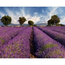 Fields Of Lavender Wall Mural