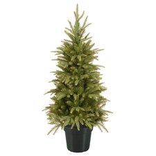 Weeping Spruce Tree in Pot