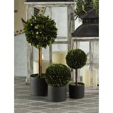 Boxwood Topiary Desk Top Plant in Pot