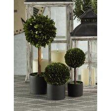 Boxwood Topiary Desk Top Plant in Pot